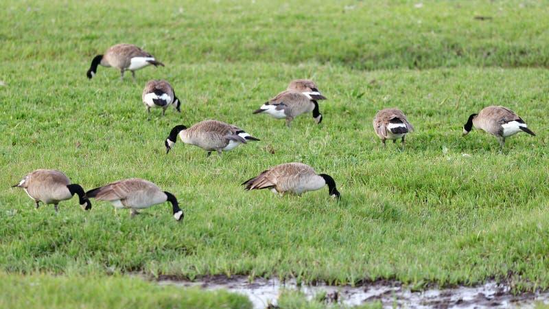 一个小组加拿大鹅 免版税图库摄影