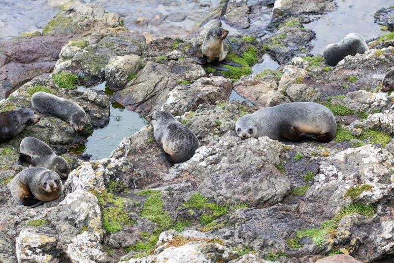 一个小组在一个岩石平台的年轻新西兰海狗Arctocephalus forsteri在狂放 库存图片