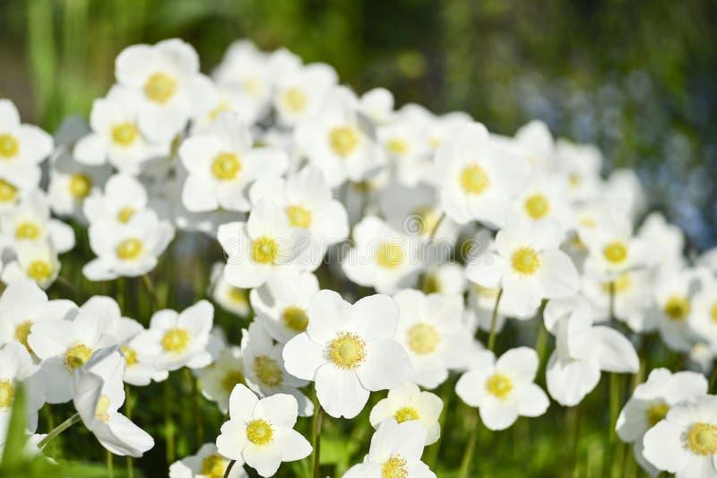 一个小组在庭院草坪种植的银莲花属花 背景 免版税库存照片