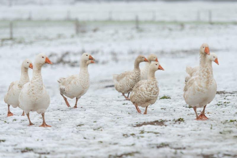 一个小组在白雪的鹅在季节冬天 库存照片