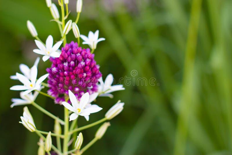 一个小组在绿草被弄脏的背景的小白色和紫色野花  免版税库存图片