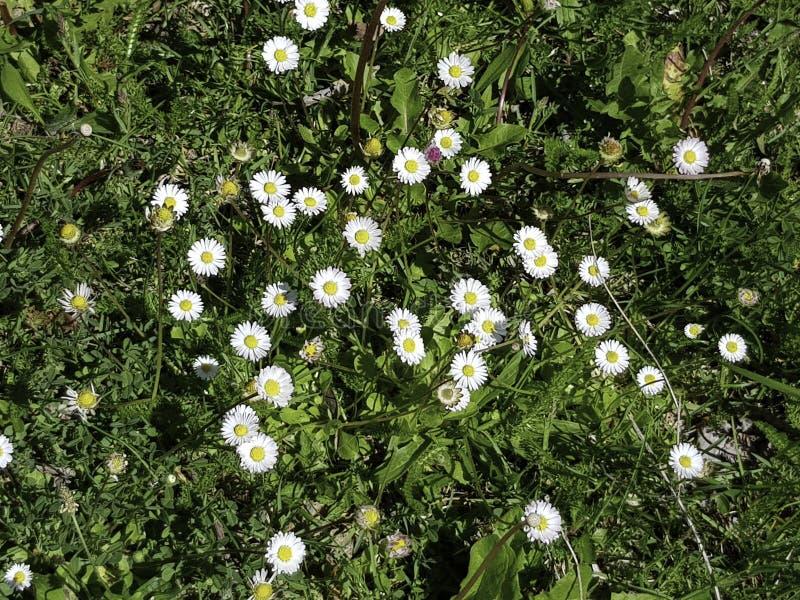 一个小组在草的雏菊 库存照片