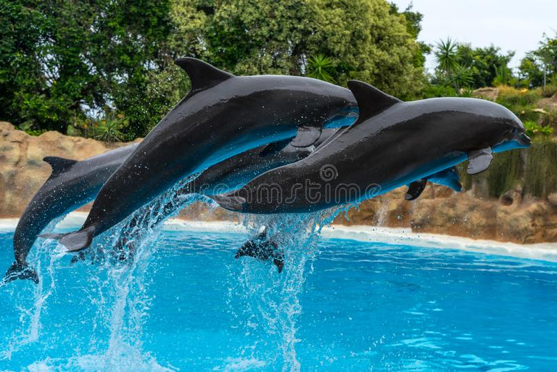 一个小组大西洋宽吻海豚Tursiops truncatus 库存图片