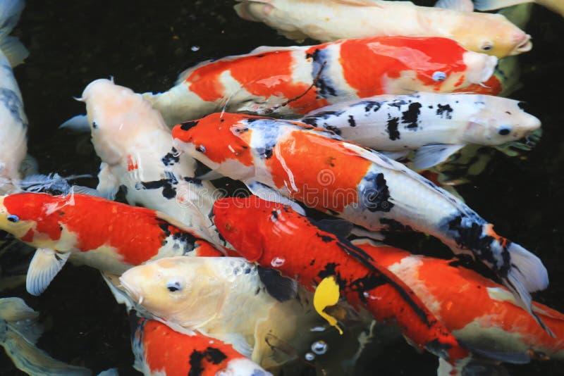 一个小组小井金鱼在池塘 库存照片
