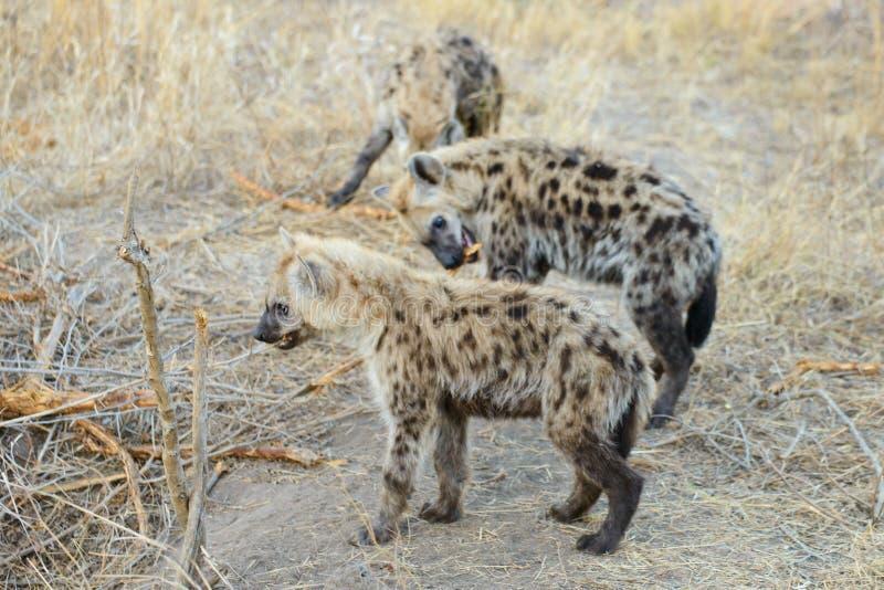 一个小组小鬣狗 免版税库存图片