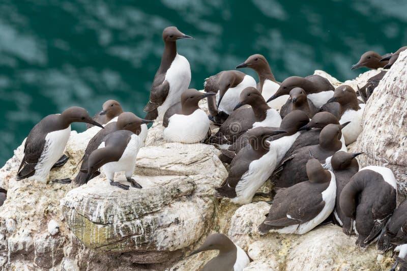 一个小组嵌套海雀科的鸟在峭壁的尿aalge  图库摄影
