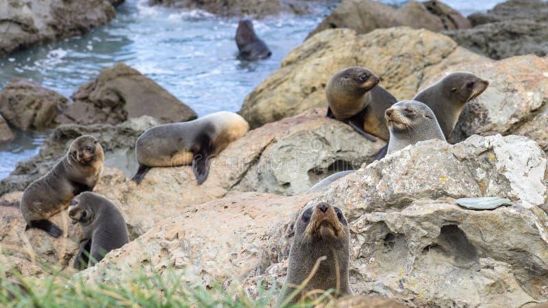 一个小组年轻海狗Arctocephalus forsteri 免版税库存图片
