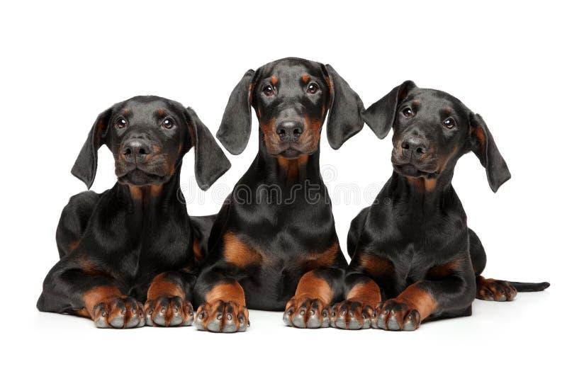 一个小组幼小小狗短毛猎犬短毛猎犬 免版税图库摄影