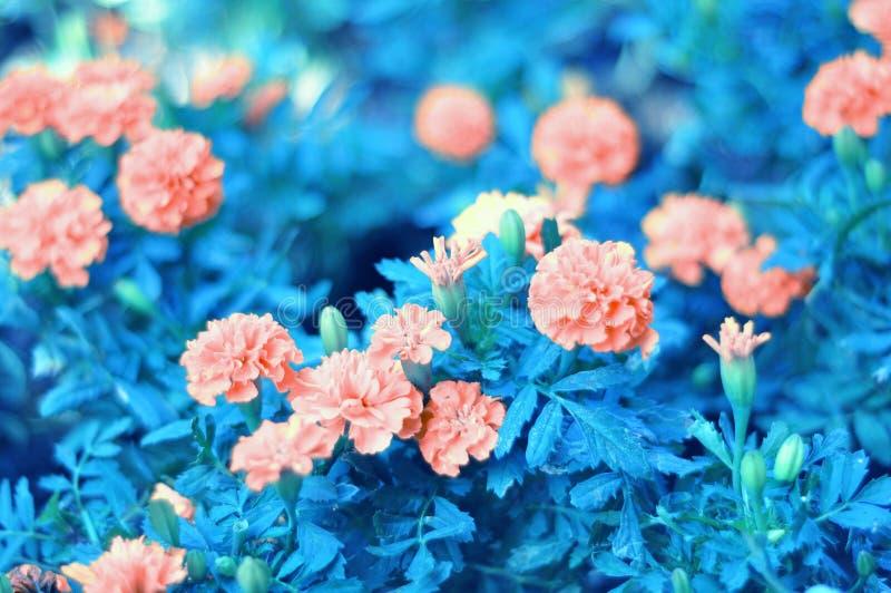 一个小组开花的桃红色花和花是非常明亮的 免版税图库摄影