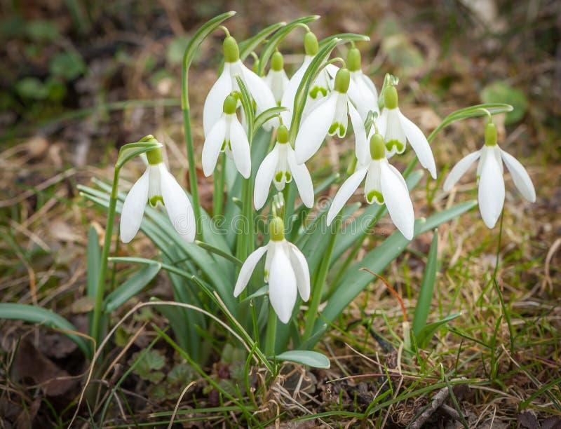一个小组开花的snodrops在春天 免版税库存图片