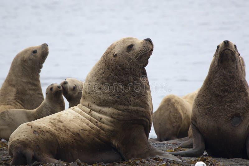 一个小组斯特勒海狮坐在海岛o上的岸 免版税库存图片