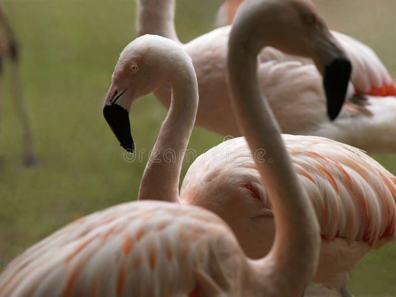 一个小组桃红色火鸟 免版税库存图片