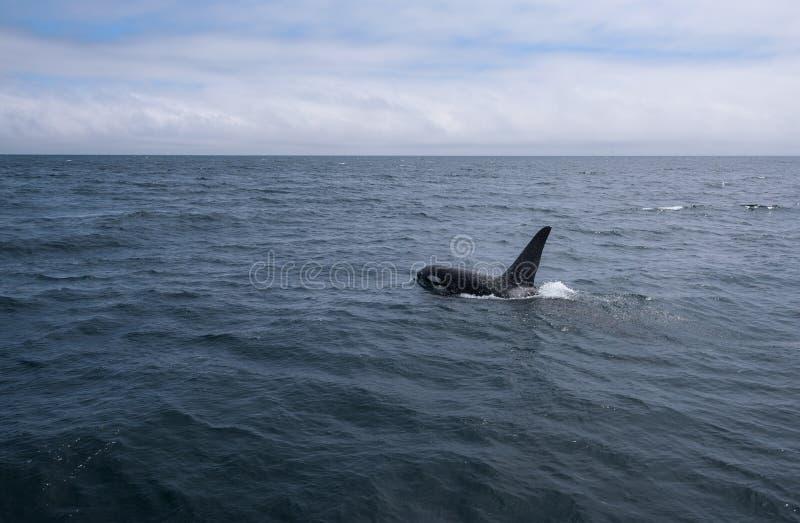 一个小组游泳在鄂霍次克海的虎鲸在知床半岛附近 库存图片