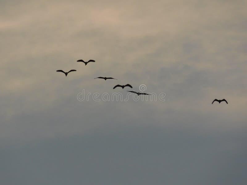 一个小组的一张美丽的照片飞行在天空的鸟 免版税图库摄影