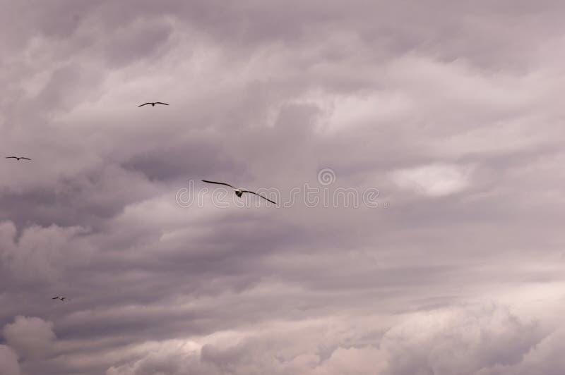 一个小组的全景飞行反对风雨如磐的天空scape的海鸥 免版税库存图片