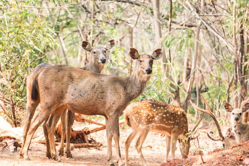 一个小组站立在树下&看向visititor的水鹿鹿 免版税库存照片