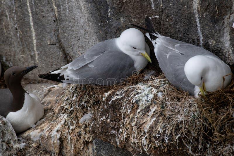 一个小组筑巢筑巢三趾鸥礼萨tridactyla 库存图片