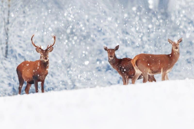一个小组美丽的男性和母鹿在雪白色森林高尚的鹿鹿elaphus 艺术性的圣诞节冬天图象 免版税库存图片