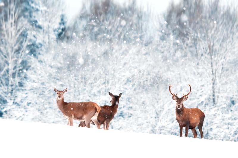 一个小组美丽的男性和母鹿在雪白色森林高尚的鹿鹿elaphus 艺术性的圣诞节冬天图象 免版税库存照片
