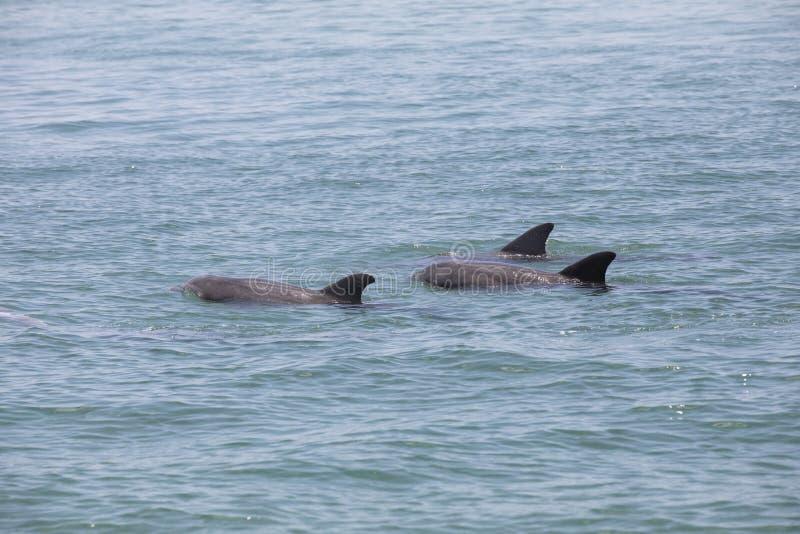 一个小组野生海豚 库存图片