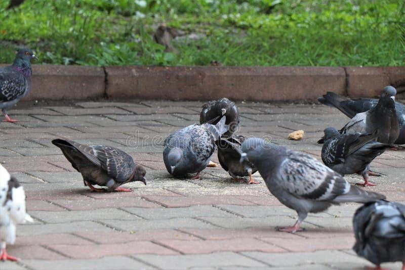 一个小组鸽子吃路人的面包渣 库存照片