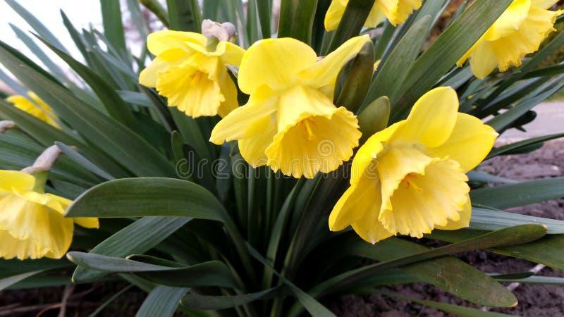一个小组黄色黄水仙在春天庭院 库存照片