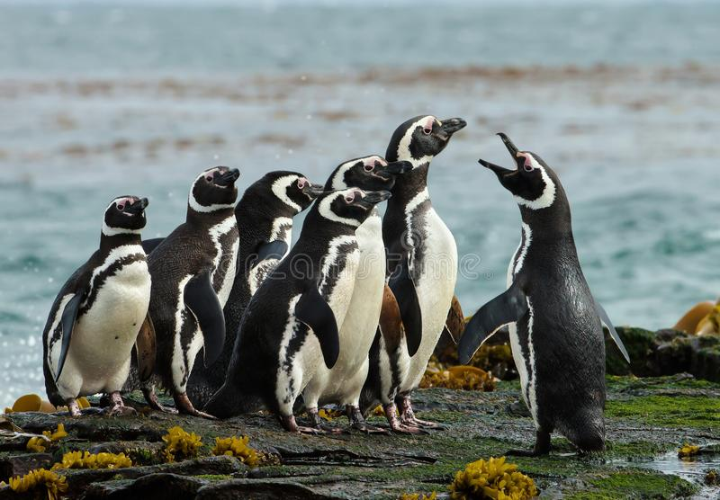 一个小组Magellanic在Falklan岩石海岸的企鹅聚集  图库摄影