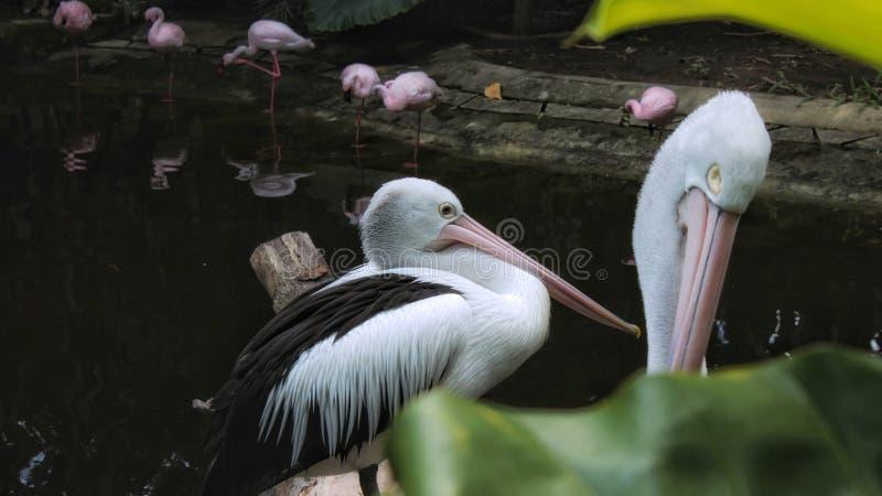 一个小组pellican在背景中休息在有两三的一个池塘附近火鸟鸟 免版税库存照片