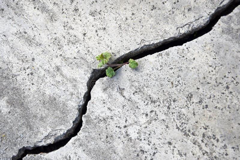 一个小绿色新芽通过在混凝土的一个大裂缝做它的方式 免版税库存照片