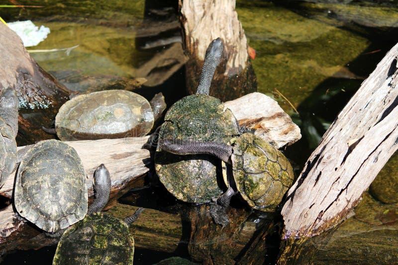 一个小组一起草龟 免版税库存图片