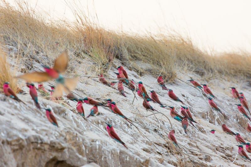 一个小组南部的胭脂红食蜂鸟在赞比西河的银行拍摄了在一个筑巢地在纳米比亚 免版税库存照片