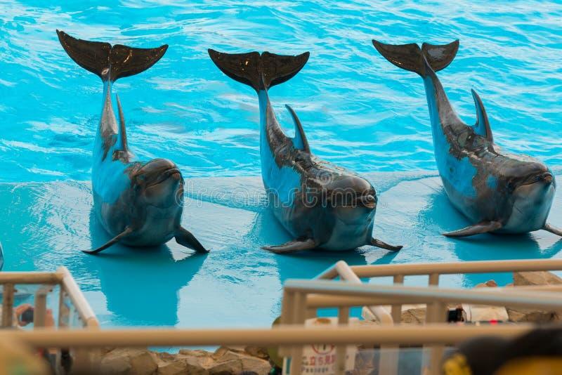 一个小组宽吻海豚准备好对执行 库存图片