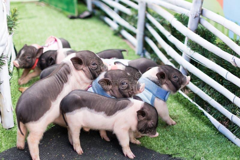 一个小组小的猪 库存照片