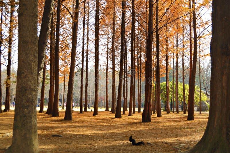 一个小组杉树在娜米海岛 库存图片