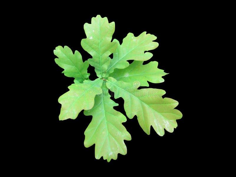 一个小组的照片绿色橡木叶子,隔绝在黑色 免版税图库摄影