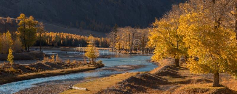 一个山谷,黄色落叶松属和白杨树树丛,升的秋天全景风景与鲜绿色河的在太阳之前 秋天森林W 免版税库存图片
