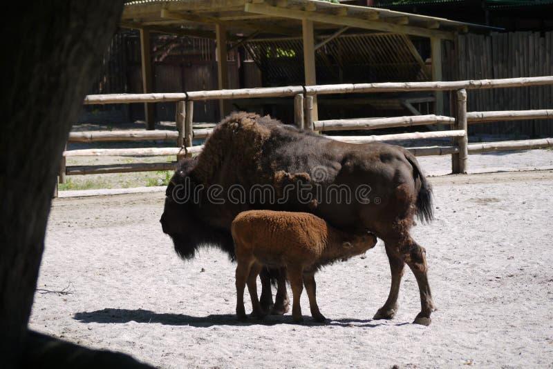 一个巨大的女性北美野牛用婴孩养母` s牛奶 可以在动物园详细被审查的美丽的动物 库存图片