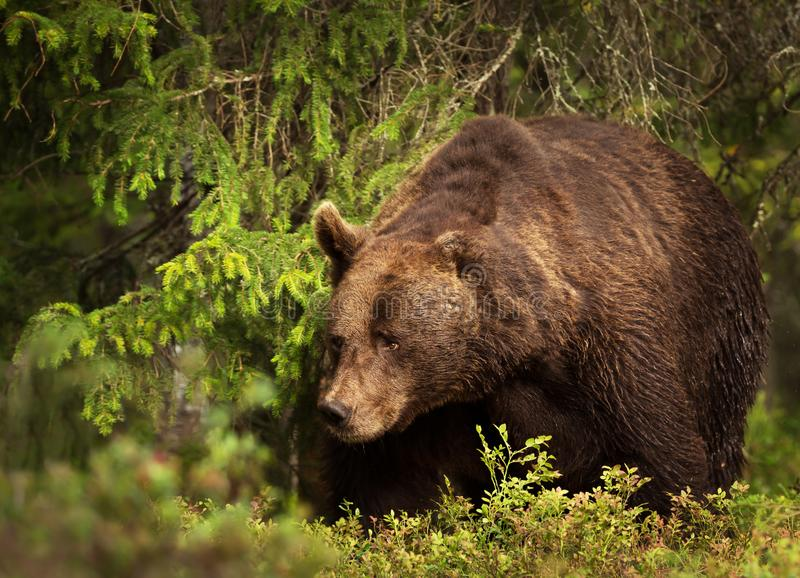一个巨大的欧洲棕熊男性的特写镜头在北方森林里 免版税库存图片