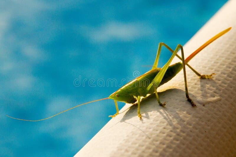 一个巨大的绿色蚂蚱特写镜头 免版税库存照片