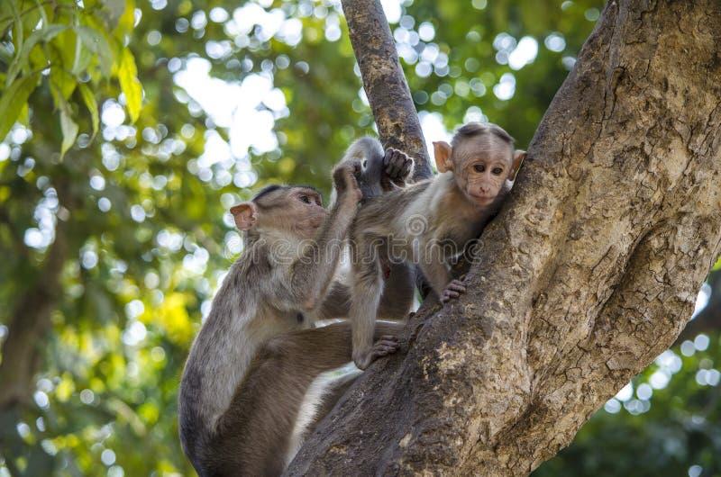 一个帽子短尾猿猴子婴孩的图象的关闭有它的修饰它的母亲的 免版税库存照片