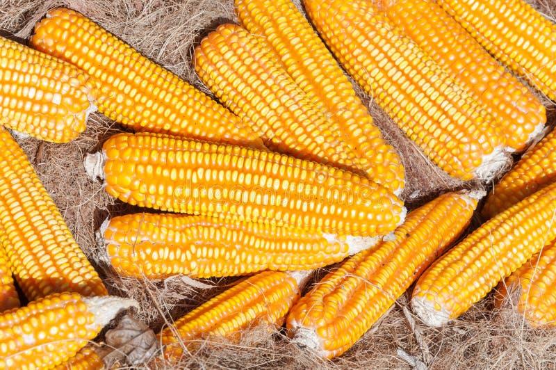 黄色片和动物干_干黄色玉米,许多动物的成熟玉米