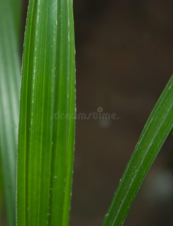一个年轻枣椰子的叶子 库存照片