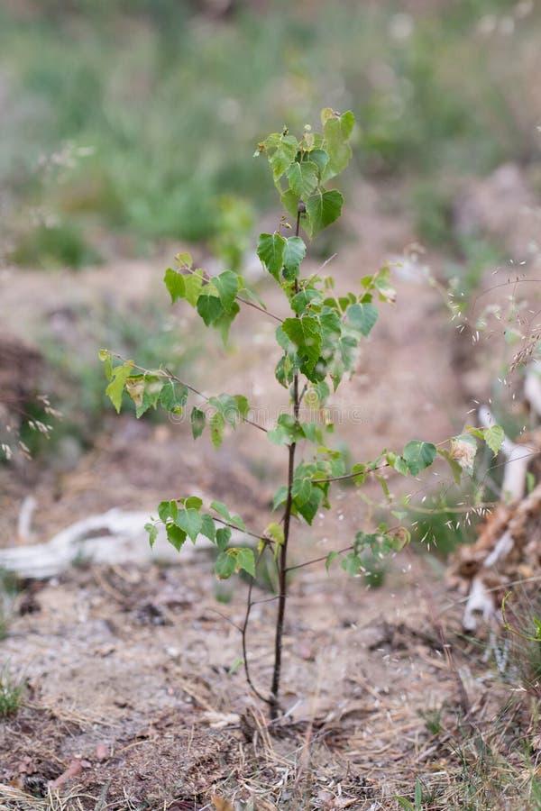 一个年轻桦树在沙子的森林落叶小的植物中 图库摄影