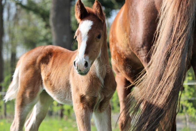 一个年轻短距离冲刺的马马驹身分在有他的母亲的草甸 库存照片