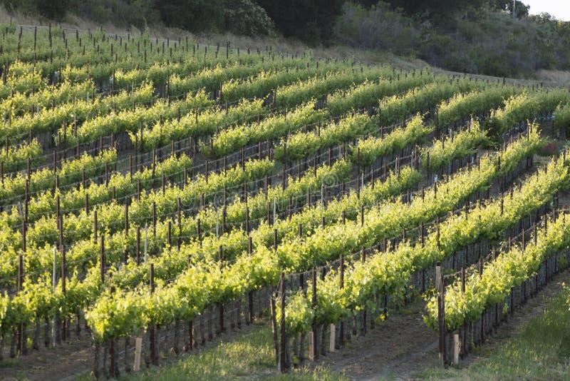 一个年轻葡萄园在圣塔内斯,在春天期间的加利福尼亚 库存照片