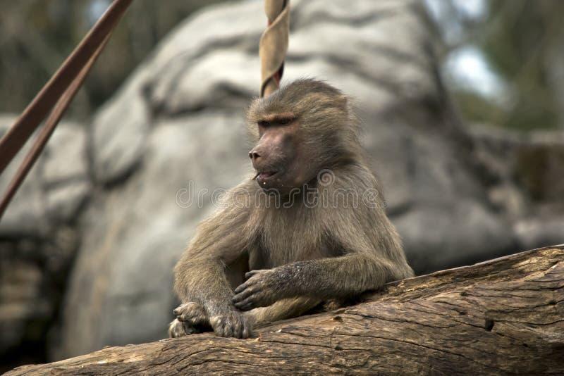 一个幼小狒狒 免版税图库摄影
