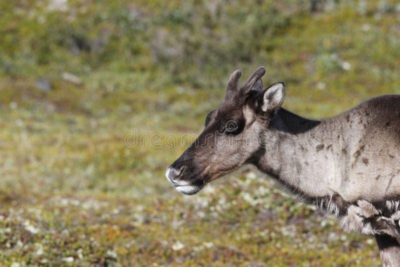 一个幼小贫瘠地面北美驯鹿的特写镜头与绿色寒带草原的在背景中在8月 免版税库存照片