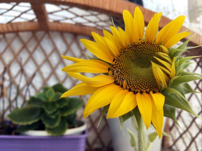一个开花的向日葵在夏天 库存照片
