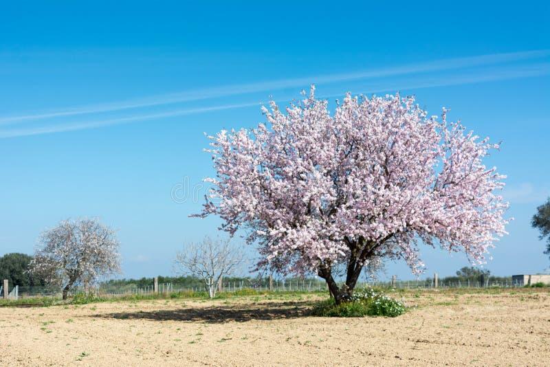 一个开花的扁桃的水平的看法在Counrtyside Lan的 库存图片