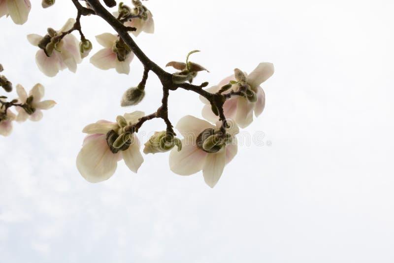 一个开花的木兰特写镜头的分支 图库摄影